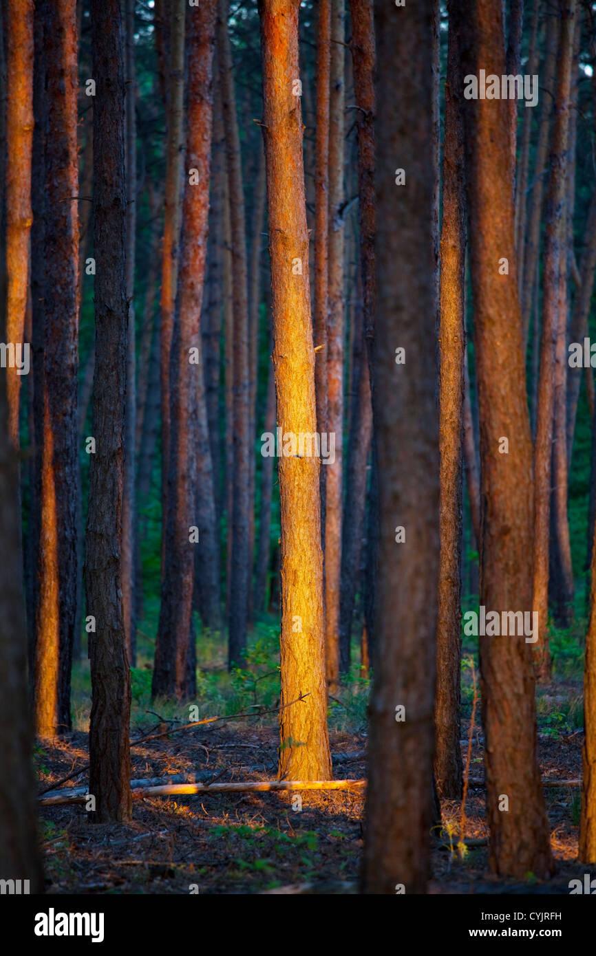 Wald bei Sonnenuntergang Stockfoto