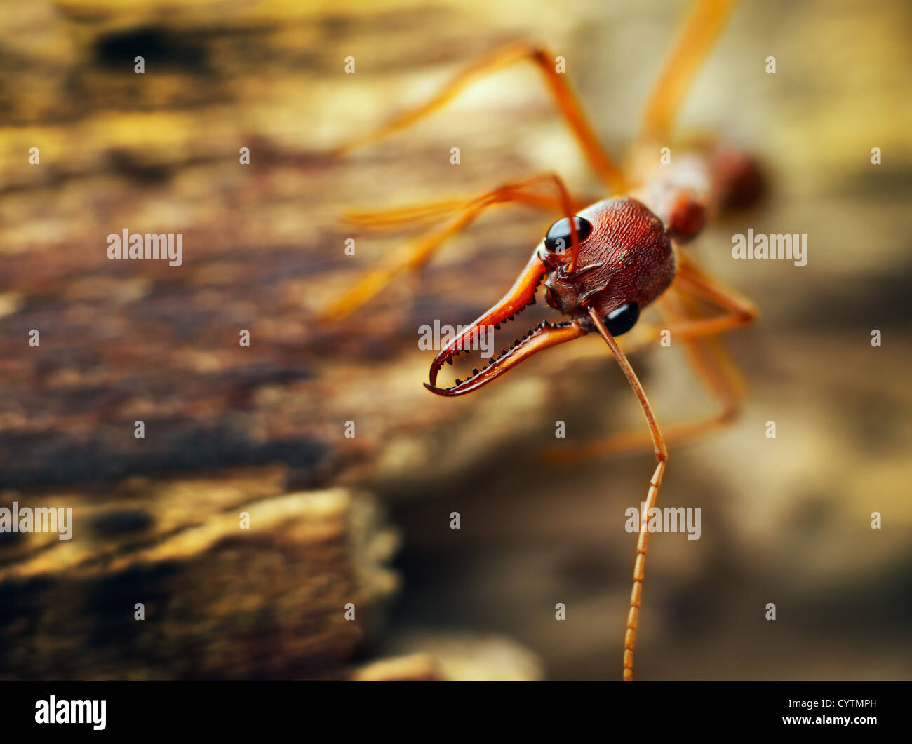red ants attacking black ant stockfotos red ants. Black Bedroom Furniture Sets. Home Design Ideas