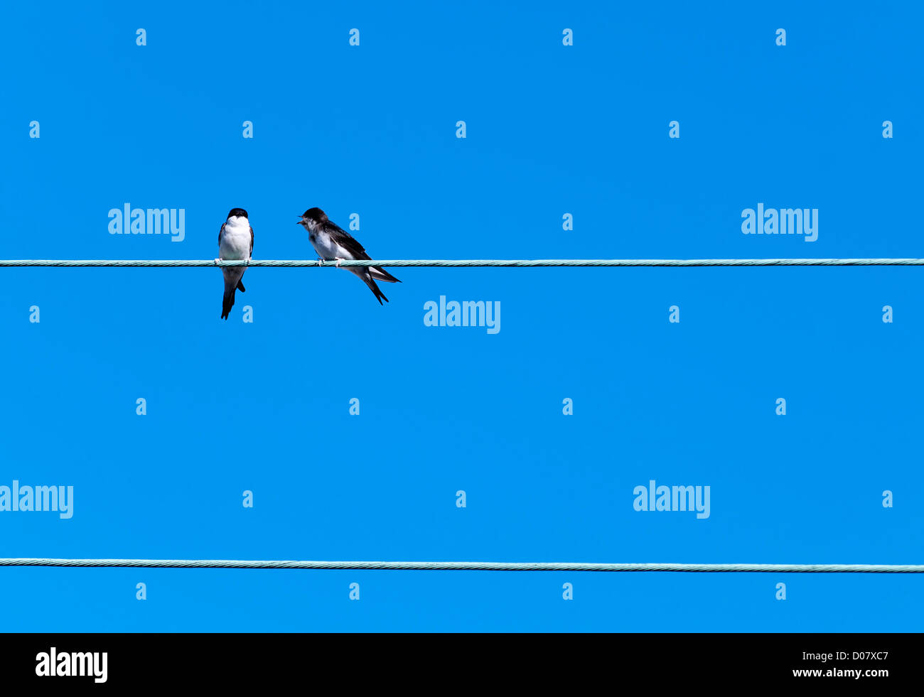 zwei Schwalben auf ein elektrisches Kabel Stockbild
