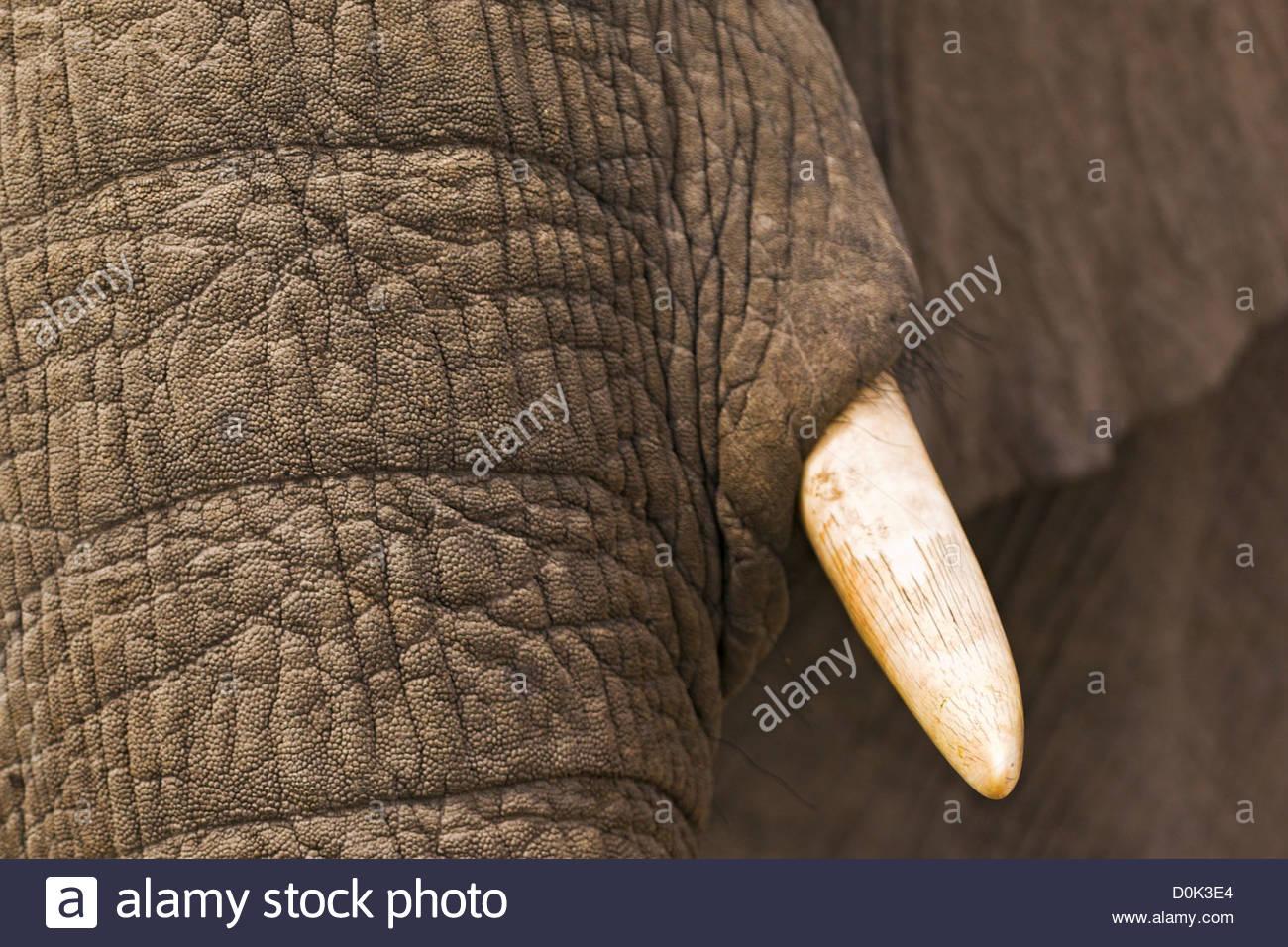 Eine Nahaufnahme eines Elefanten spielen im Schlamm in das Okavango Delta in Botswana. Stockbild
