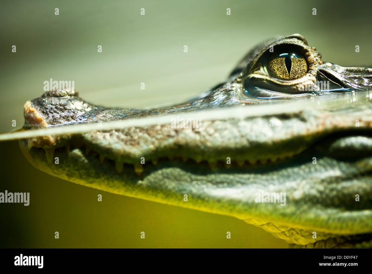Caiman crocodilus Stockbild