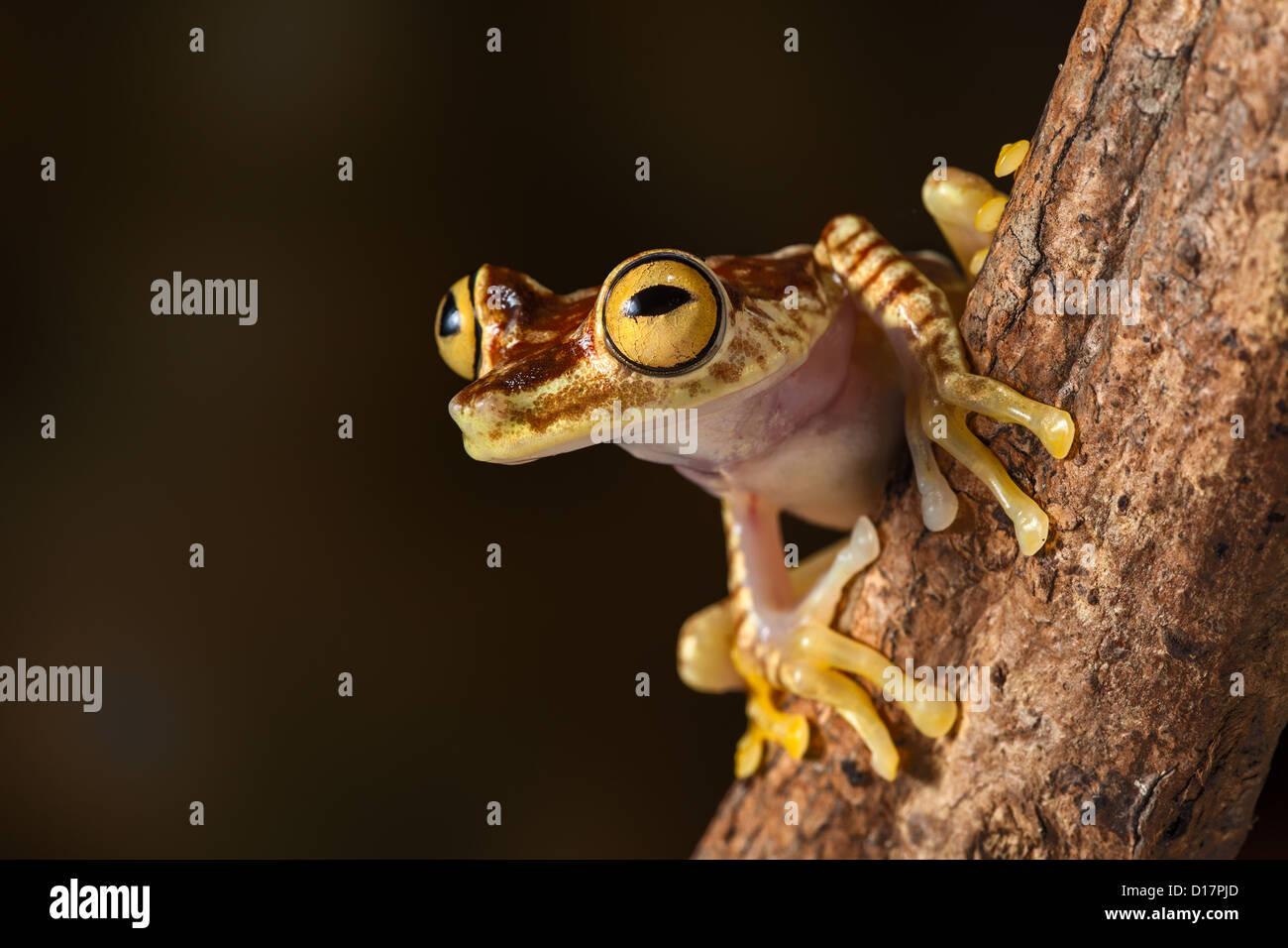 Laubfrosch Hypsiboas Picturata Amazonas Regenwald Treefrog von Kolumbien und Ecuador Dschungel, exotische Tier lebt Stockbild