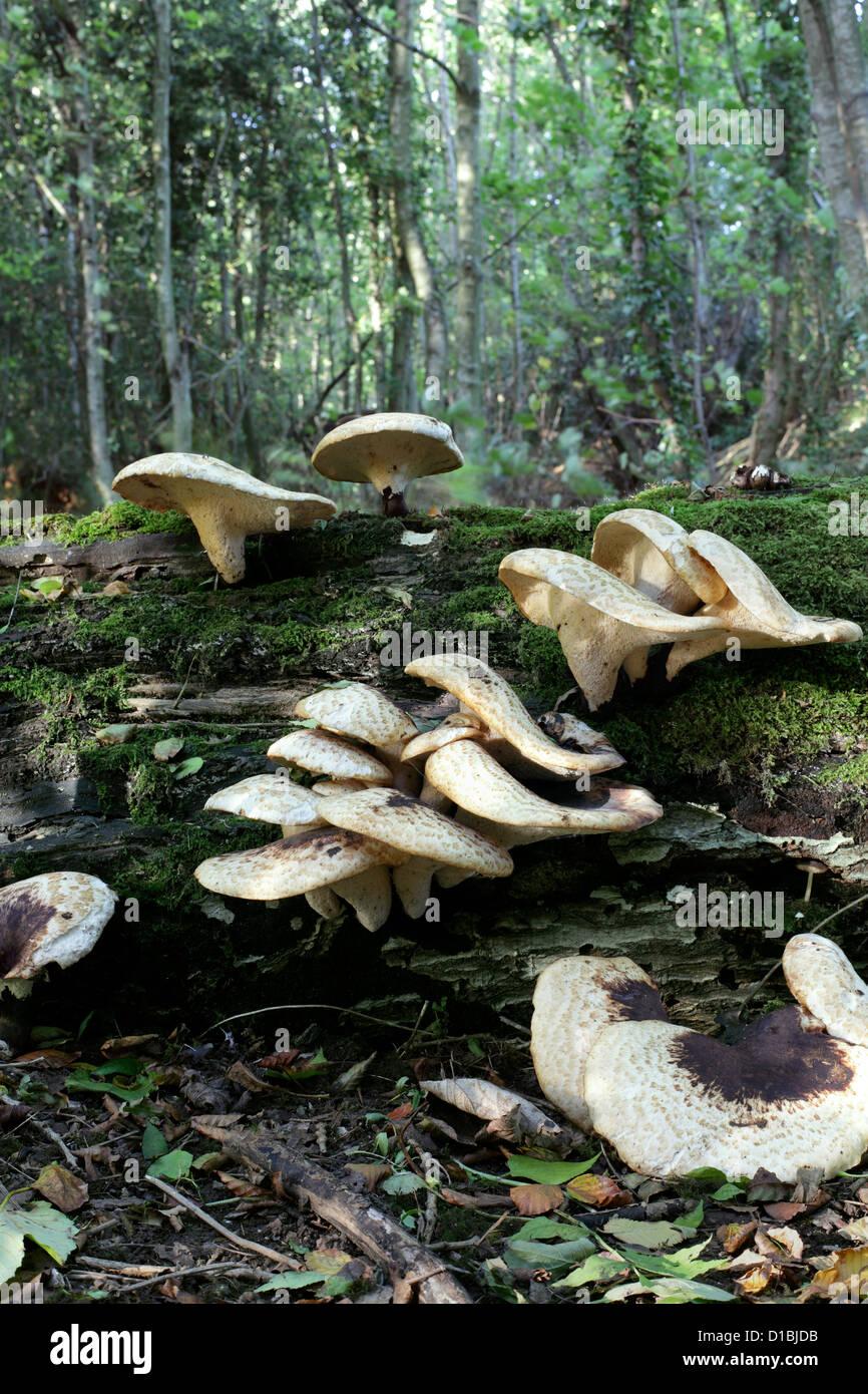 tree mushrooms stockfotos tree mushrooms bilder alamy. Black Bedroom Furniture Sets. Home Design Ideas