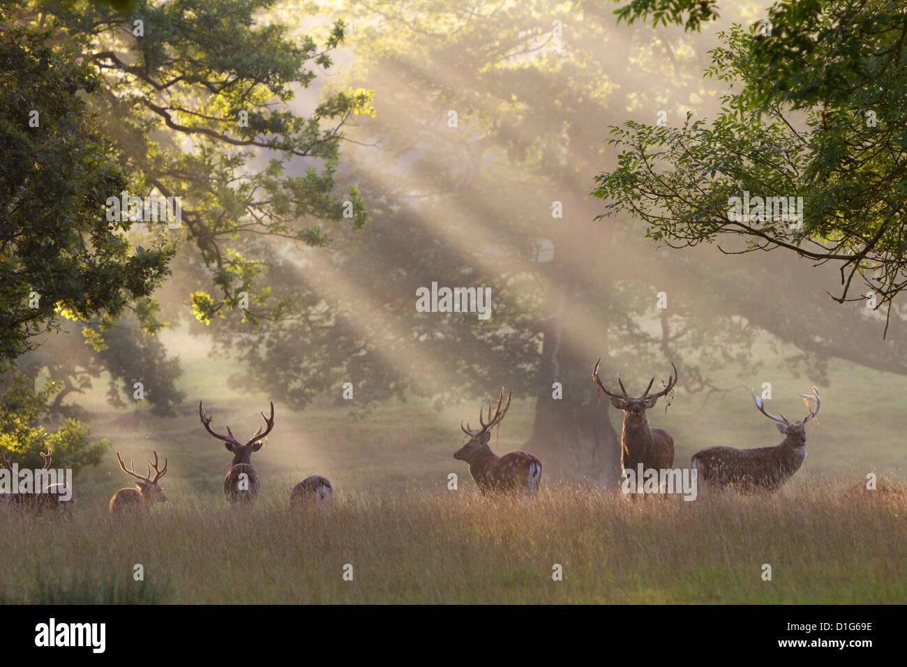 Reh im Morgen Nebel, Woburn Abbey Park, Woburn, Bedfordshire, England, Vereinigtes Königreich, Europa Stockbild