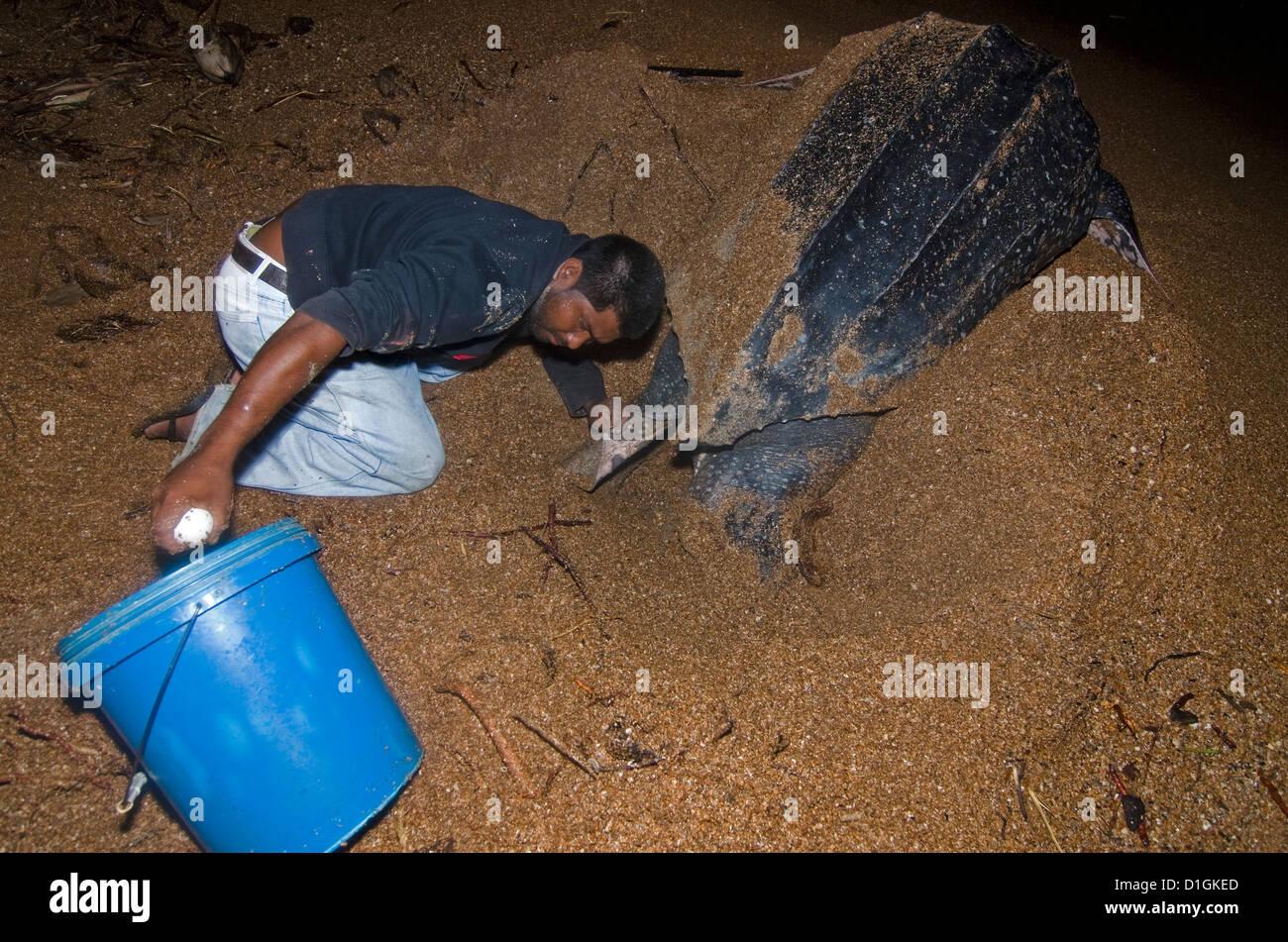 Lederschildkröte (Dermochelys Coriacea) Schildkröteneier gesammelt für die Übertragung zu einem Stockbild