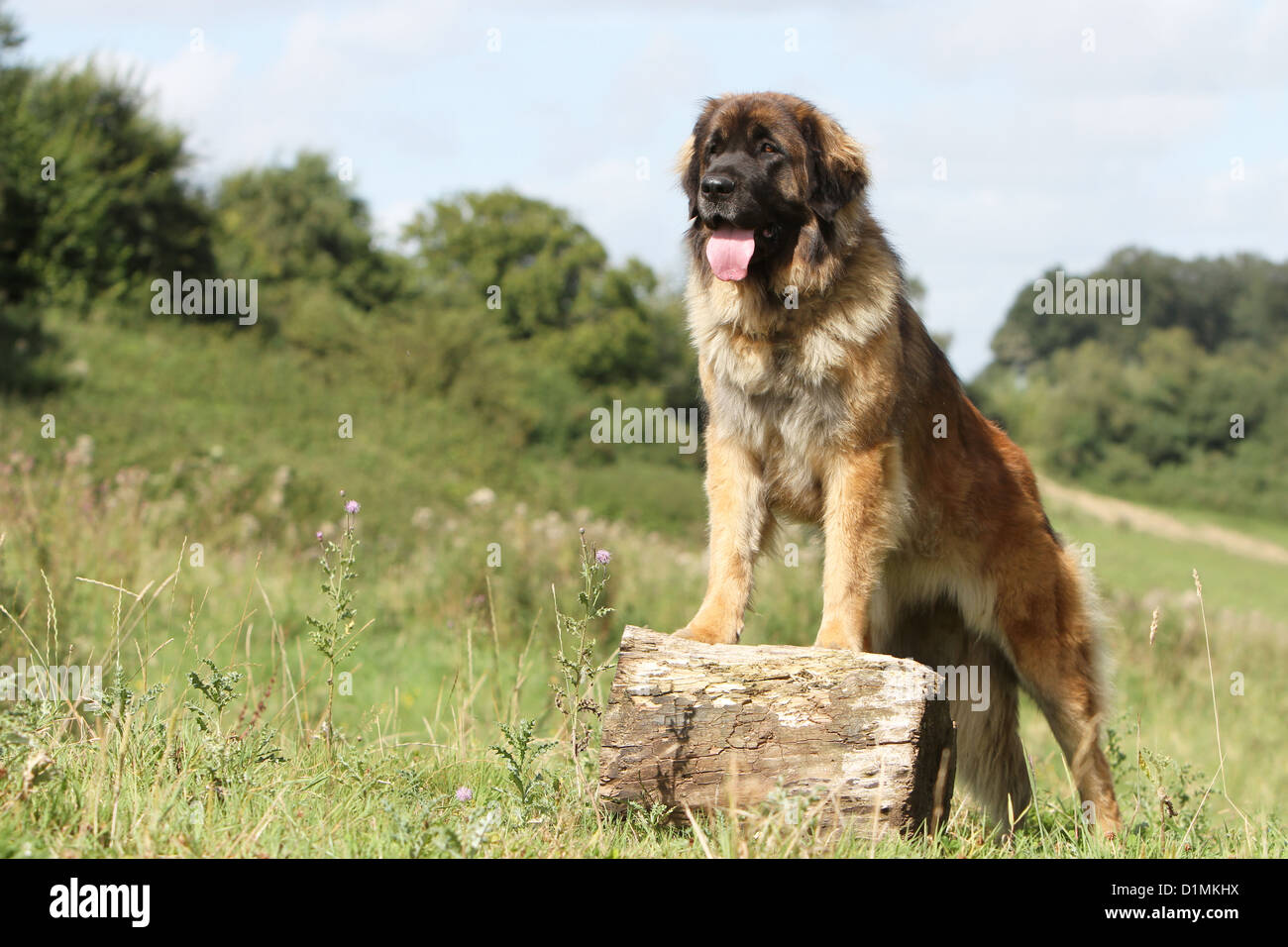 leonberger erwachsenen stehen auf einem holz hund. Black Bedroom Furniture Sets. Home Design Ideas