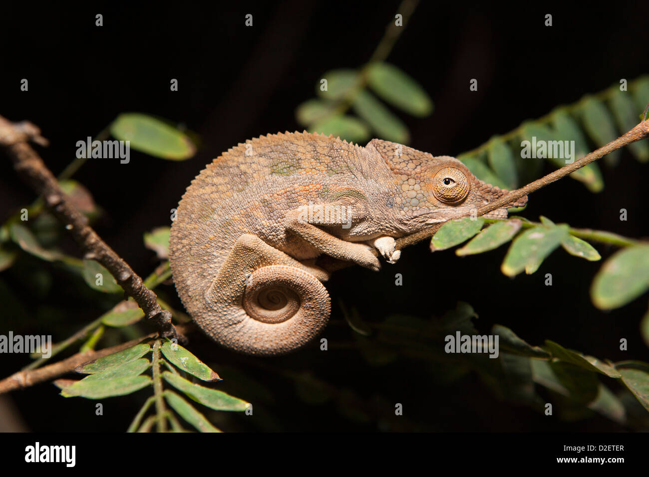 Madagaskar, Betrieb Wallacea, Mariarano, Chamäleon Furcifer Angeli in der Nacht Stockbild