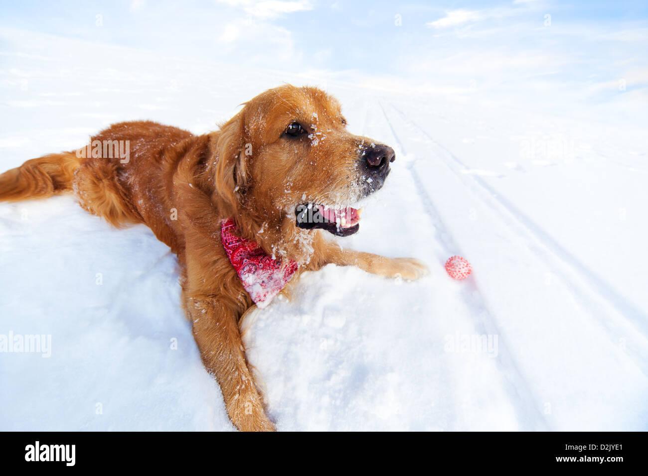 Labrador mit Spielzeug auf Schnee liegen. Stockbild