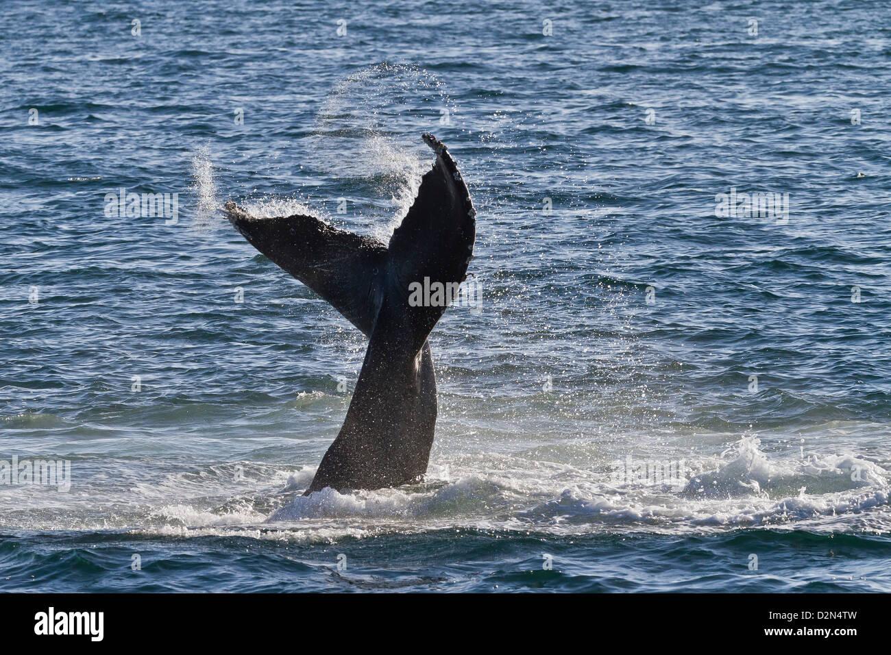 Buckelwal (Impressionen Novaeangliae) Rute schlagen, Golf von Kalifornien (Sea of Cortez), Baja California Sur, Stockbild