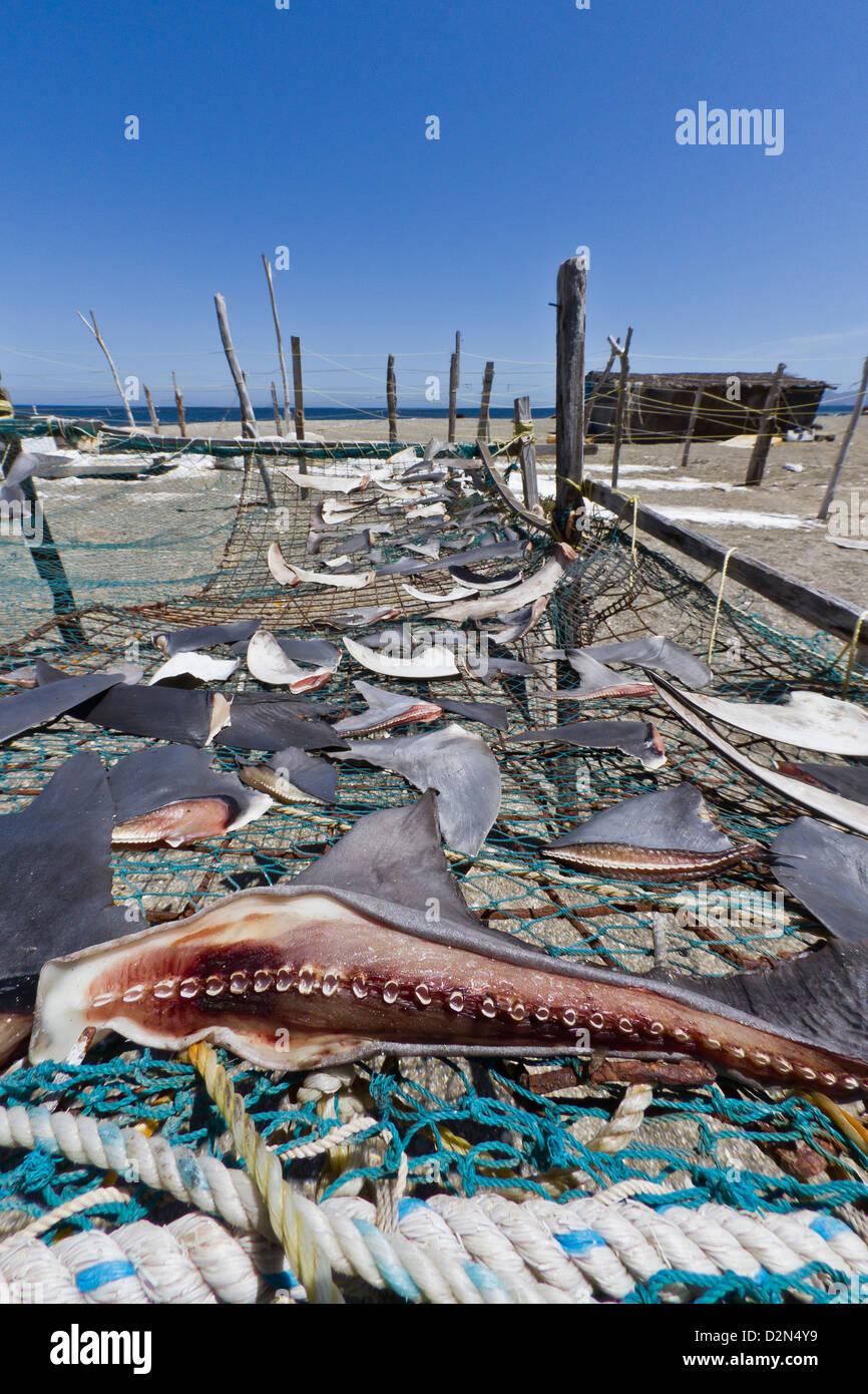 Haifischflossen trocknen in der Sonne, Golf von Kalifornien (Sea of Cortez), Baja California Sur, Mexiko, Nordamerika Stockbild