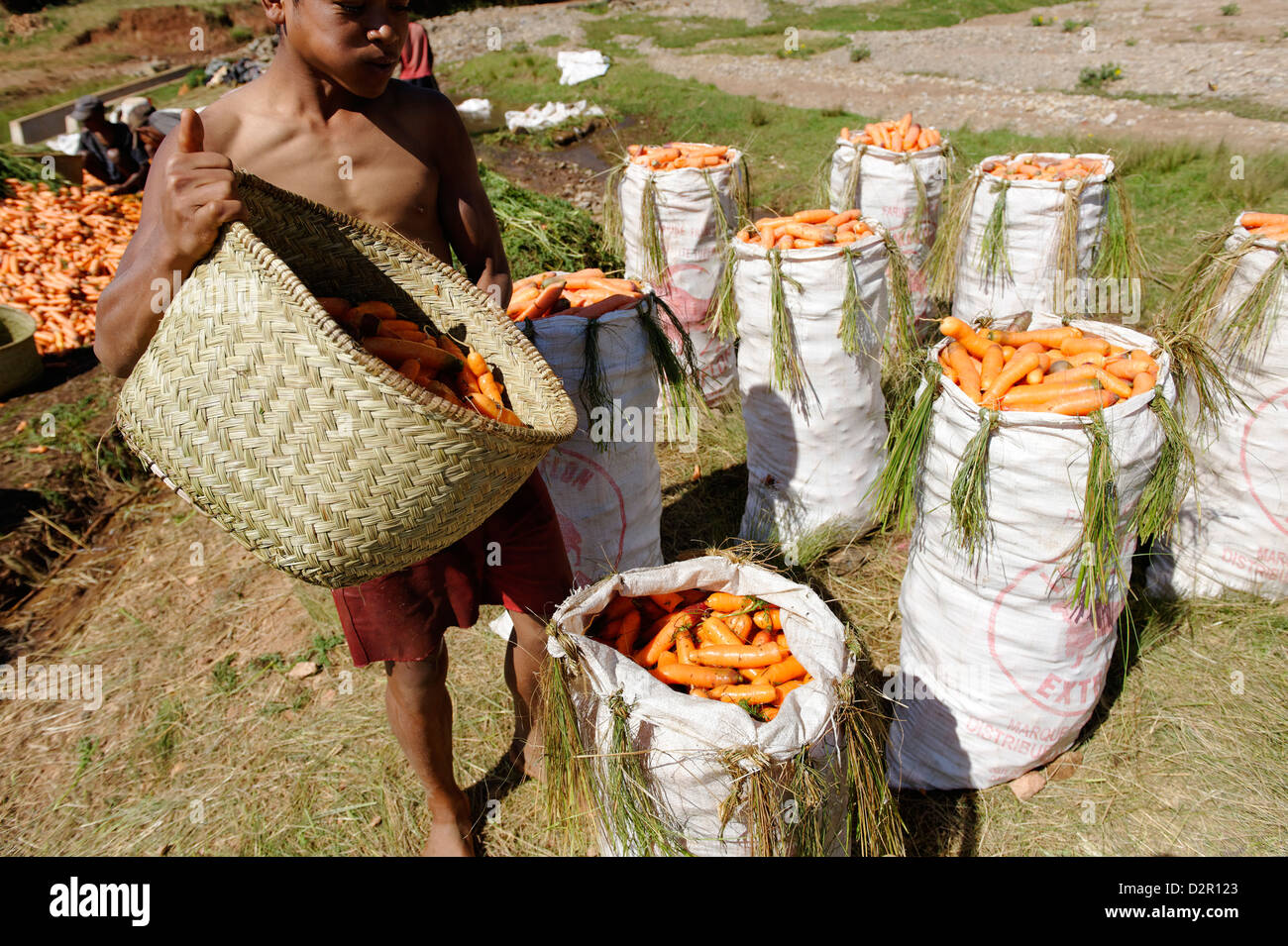 Karotte Ernte, Vakinankaratra Region, Madagaskar, Afrika Stockbild