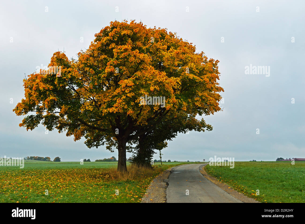 Ahornbaum mit Herbstfarben, in der Nähe von Villingen Schwarzwald Schwarzwald-Baar, Baden-Wurttemberg, Deutschland, Stockbild