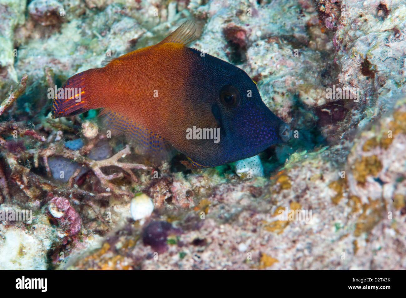 Orange Tail Feilenfisch (Pervagor Aspriaudus), Komodo, Indonesien, Südostasien, Asien Stockbild