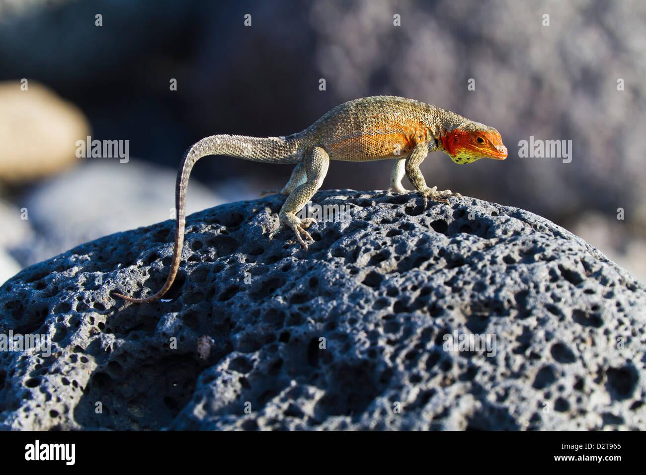 Weibliche Lava Eidechse (Microlophus Spp), Las Bachas, Santa Cruz Island, Galapagos-Inseln, Ecuador, Südamerika Stockbild