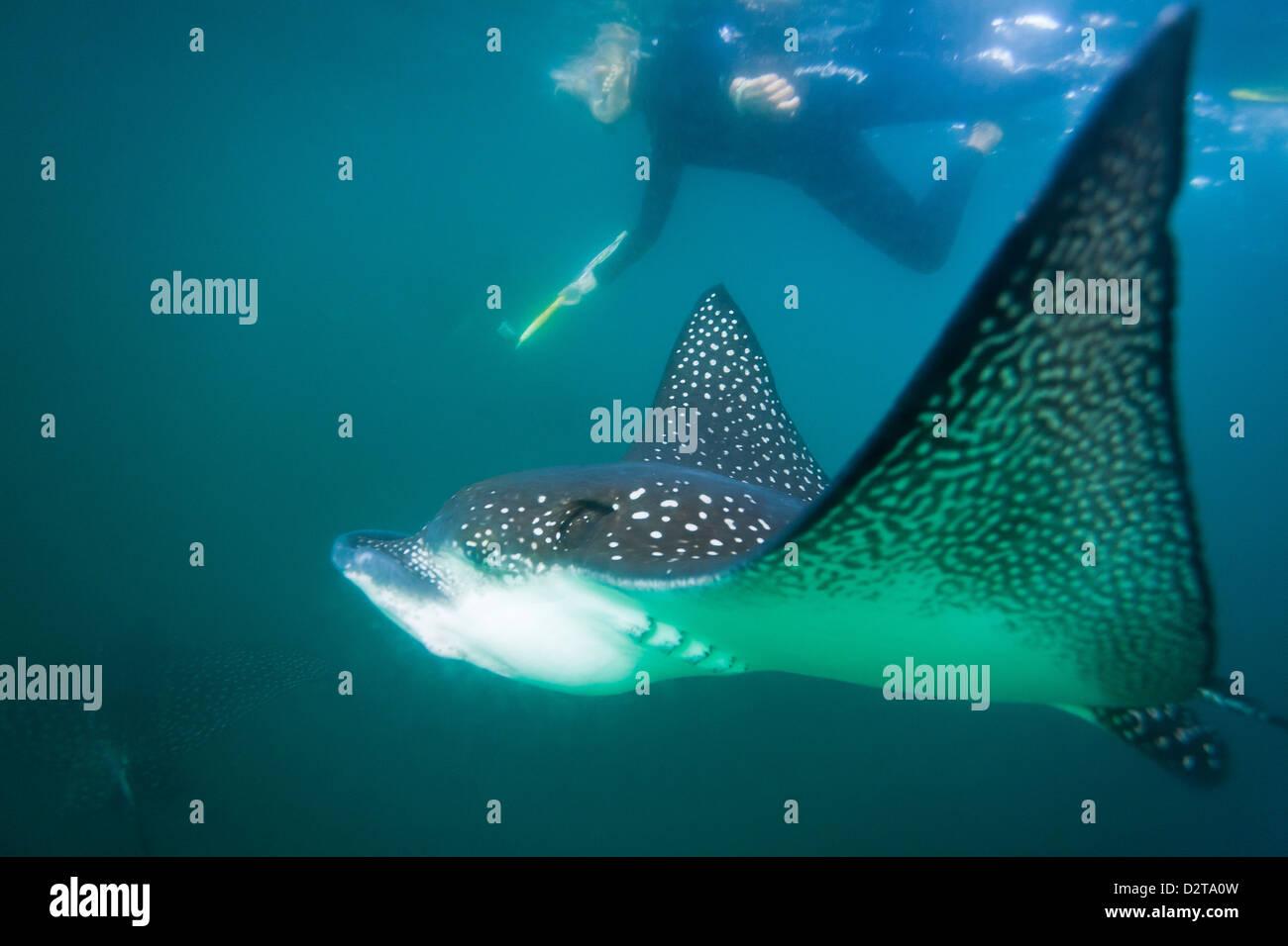 Entdeckt von Adlerrochen (Aetobatus Narinari) Unterwasser, Leon Dormido Insel, Insel San Cristobal, Galapagos-Inseln, Stockbild