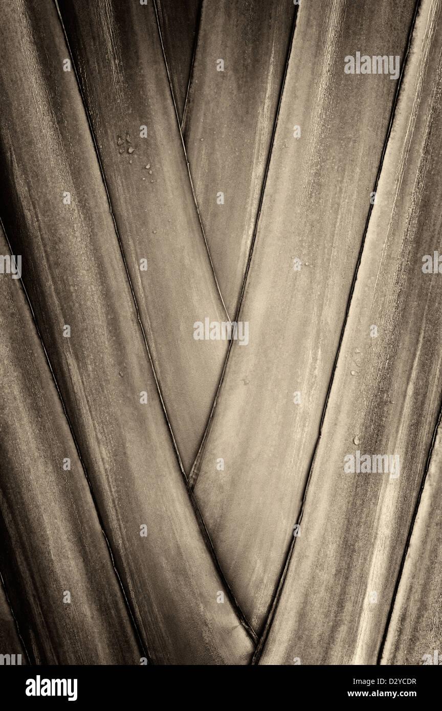 Nahaufnahme des Reisenden Palm. Hawaii, Big Island. Stockbild