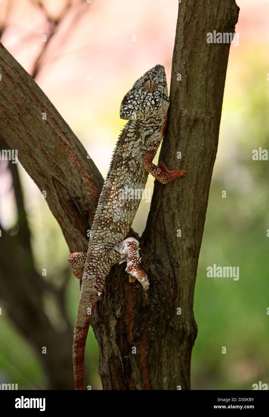 Die Oustalet oder madagassische riesige Chamäleon Furcifer Oustaleti, Chamaeleonidae, Squamata. Madagaskar, Stockbild