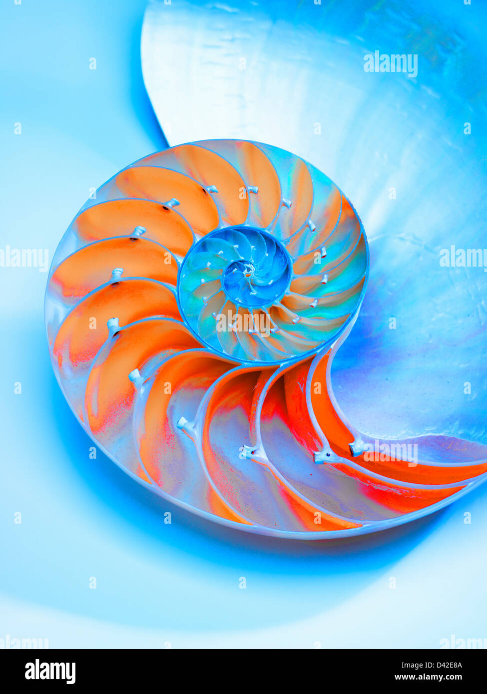 Meeresschnecke in der Mitte zeigt die Kammern, Nautilus Pompilus, Gattung Nautilus halbiert Stockbild