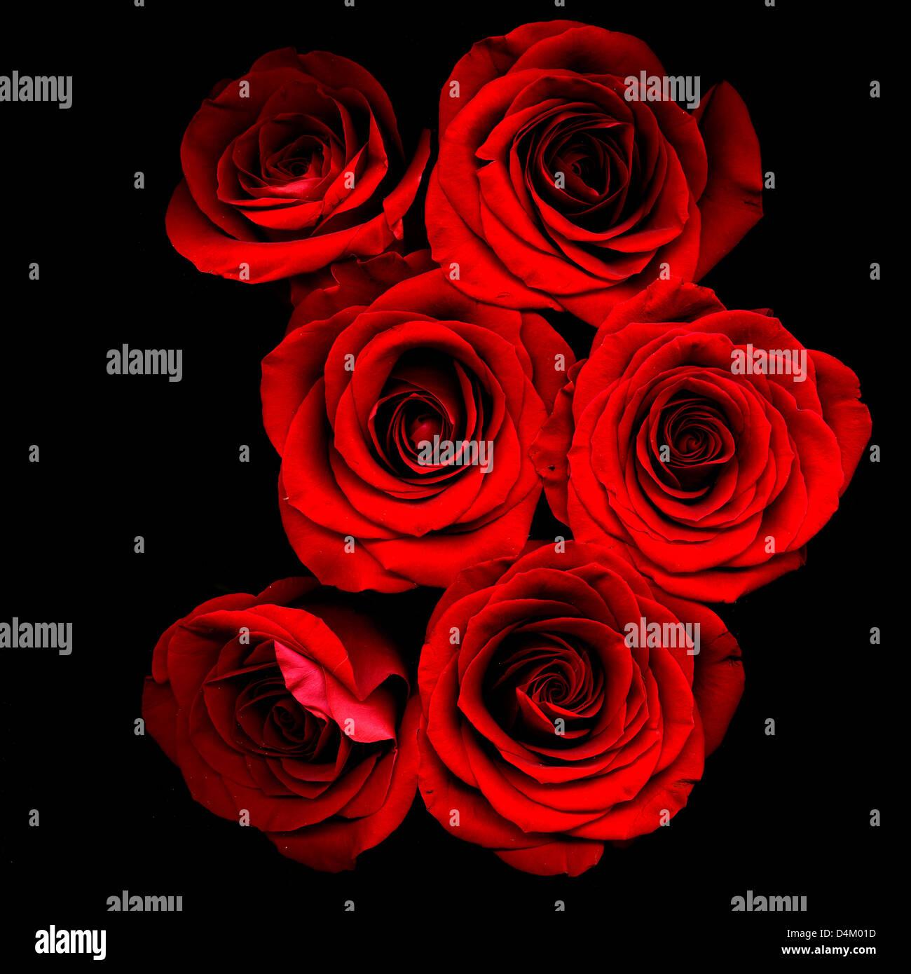 Rote Rosen auf schwarzem Hintergrund Stockbild