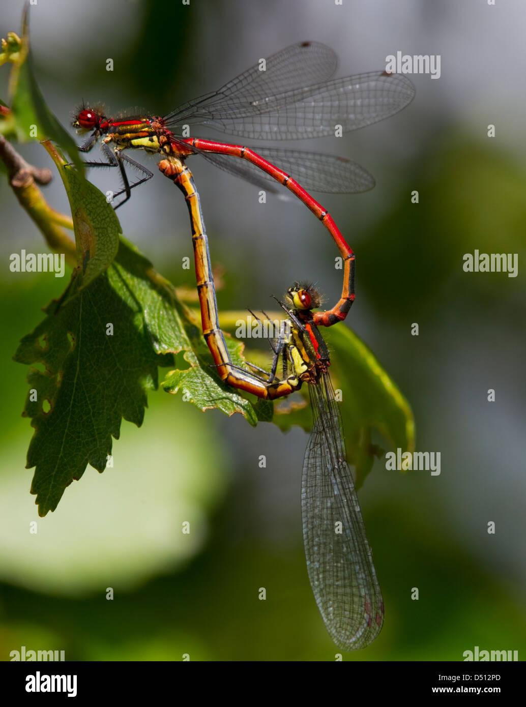 Pyrrhosoma Nymphula, große Red Damselfly Paarung bildet die Form eines Herzens ruht auf einem Blatt Stockbild