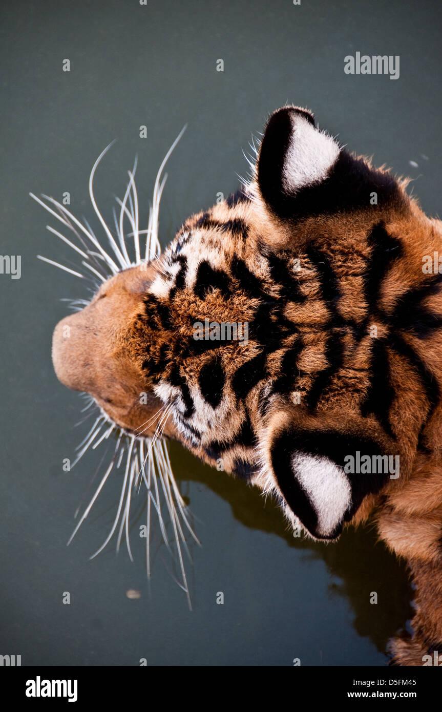 Tiger Tempel Thailand Stockfoto