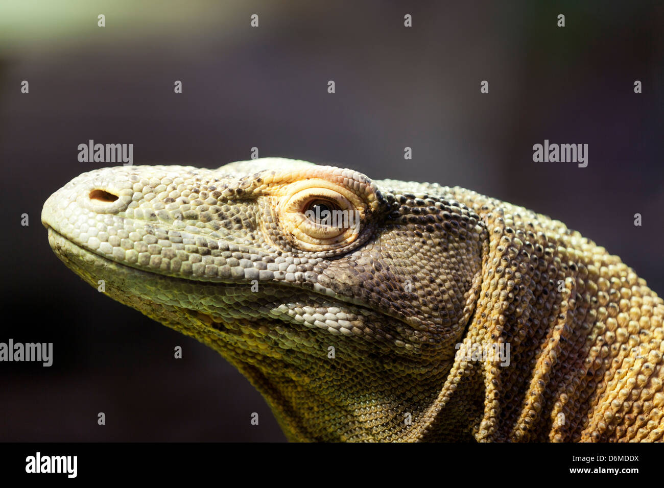Komodo Dragon, Porträt eines Komodo Drachen. Stockbild
