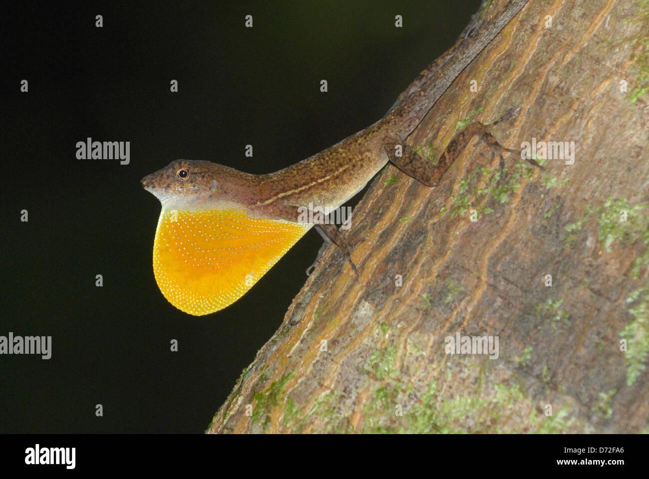 Männliche n skaliert Anole (Norops Polylepis) im Regenwald von Costa Rica anzeigen Stockbild