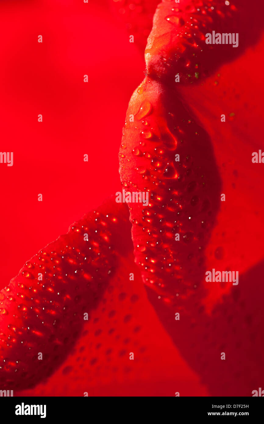 Rot mit rote Tulpe Blumen und Tröpfchen von Wasser, roten Hintergrund erzeugte Abstraktion Stockbild