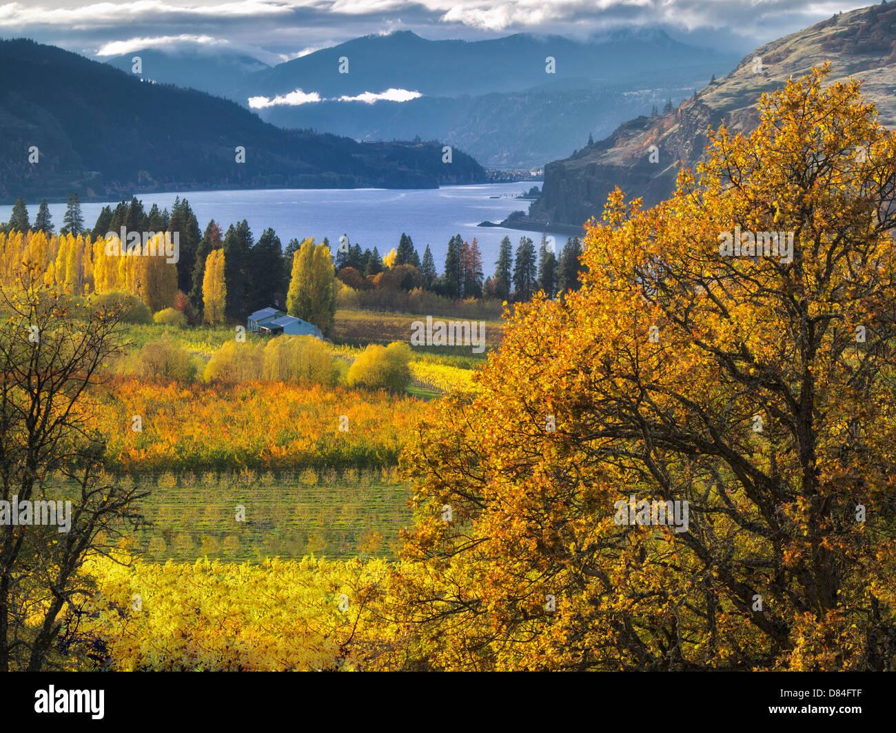 Obstgarten in Herbstfarben und Columbia River. Columbia River Gorge National Scenic Area. Oregon Stockbild