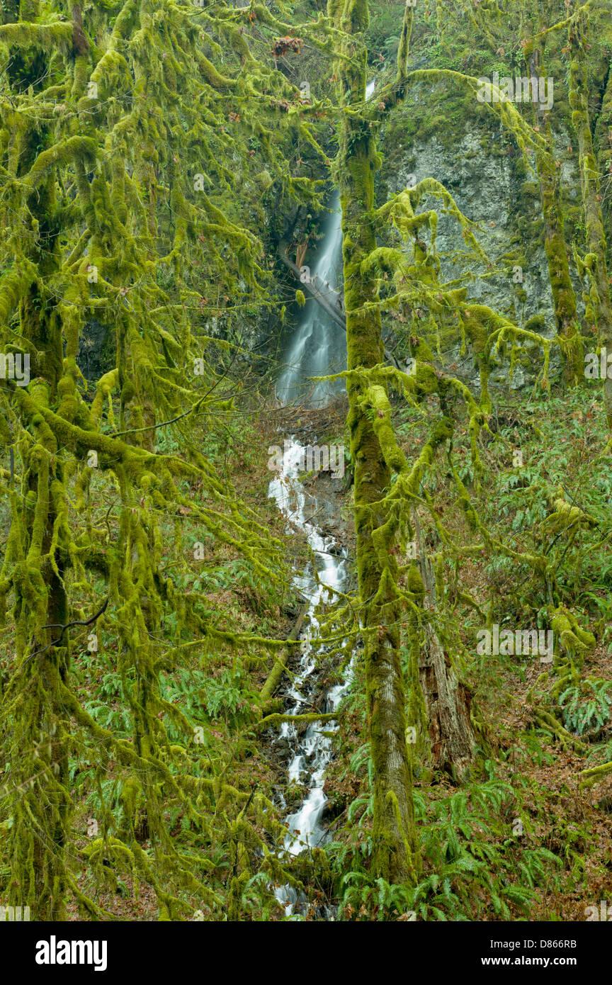 Moos bedeckt Big Leaf Ahornbäume und saisonale Wasserfall. Silver Falls State Park, Oregon Stockbild