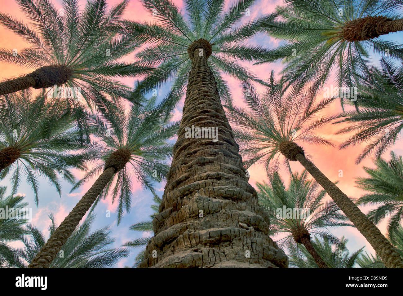 Nachschlagen in Kalifornien-Ventilator-Palmen mit Sonnenaufgang Wolken. Palm Desert, Kalifornien Stockbild