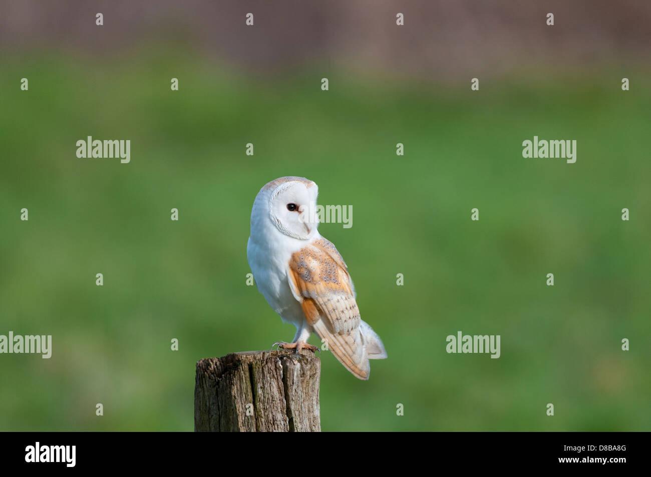 Schleiereule, Tyto Alba, Erwachsene thront auf Post bei Tageslicht, Norfolk, England Stockbild
