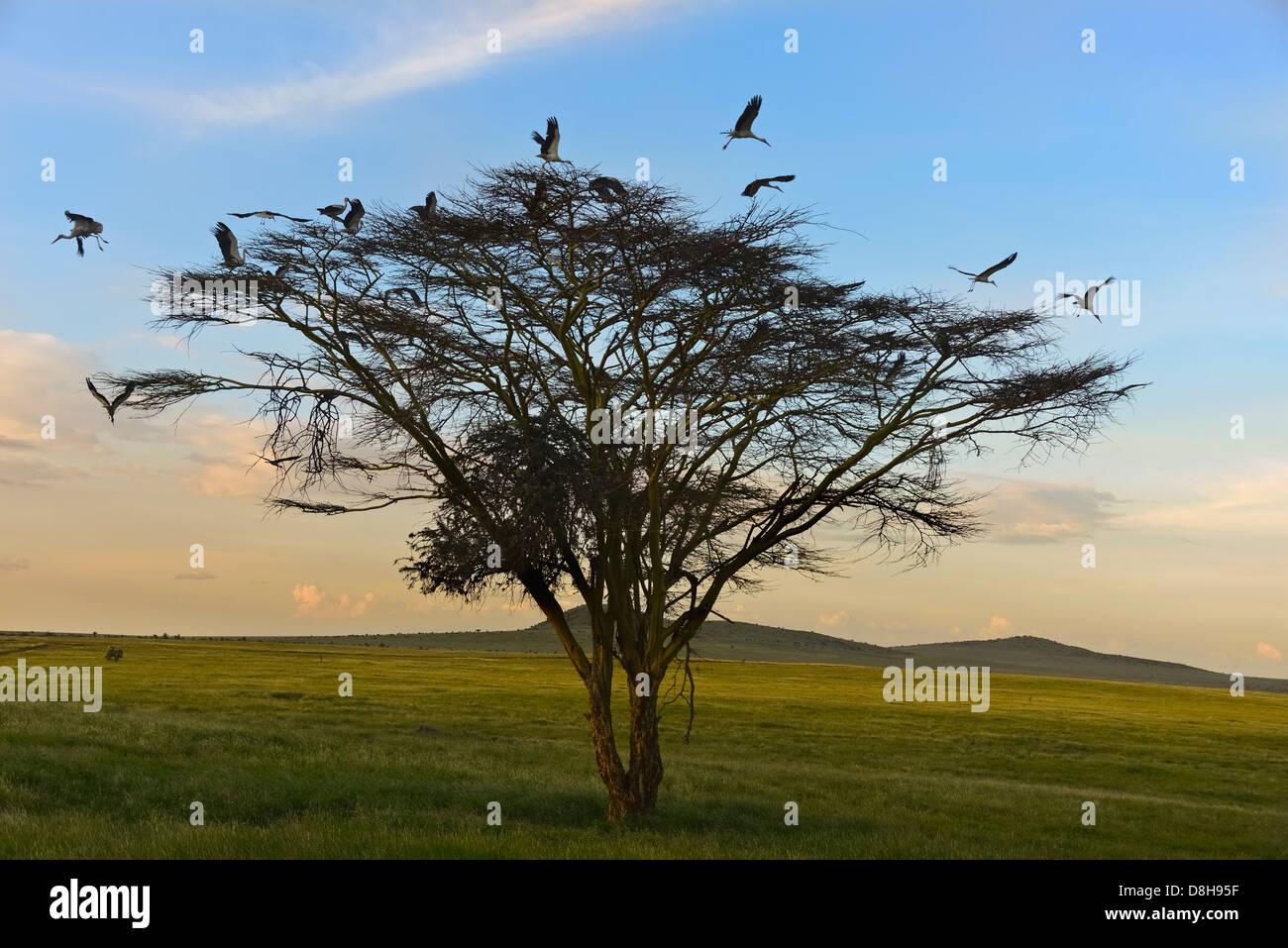 Akazie mit europäischen Weißstörche. Nord-Kenia Stockbild