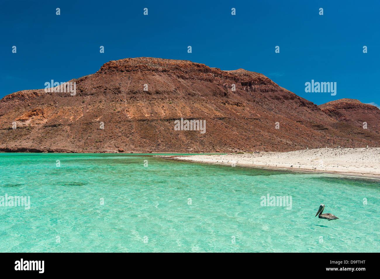 Pelikane im türkisfarbenen Wasser auf Isla Espiritu Santo, Baja California, Mexiko Stockbild