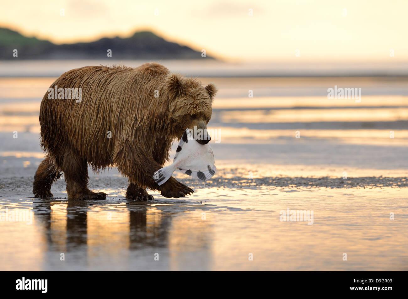 Grizzly Bear walking mit gefangenen Fisch im Mund Stockbild