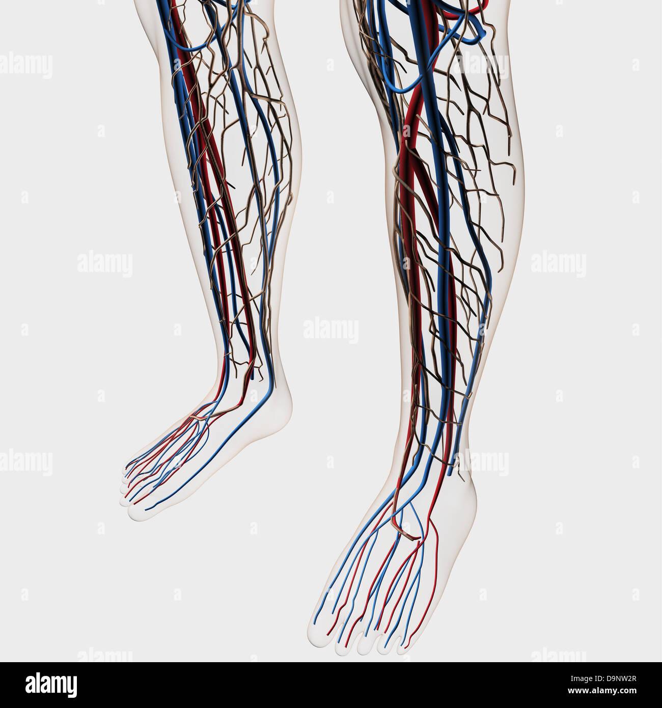 Medizinische Illustration der Arterien, Venen und Lymphsystem in ...