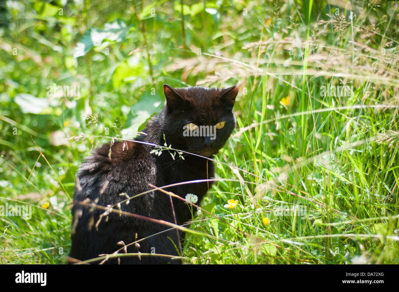 black cat hunting stockfotos black cat hunting bilder alamy. Black Bedroom Furniture Sets. Home Design Ideas