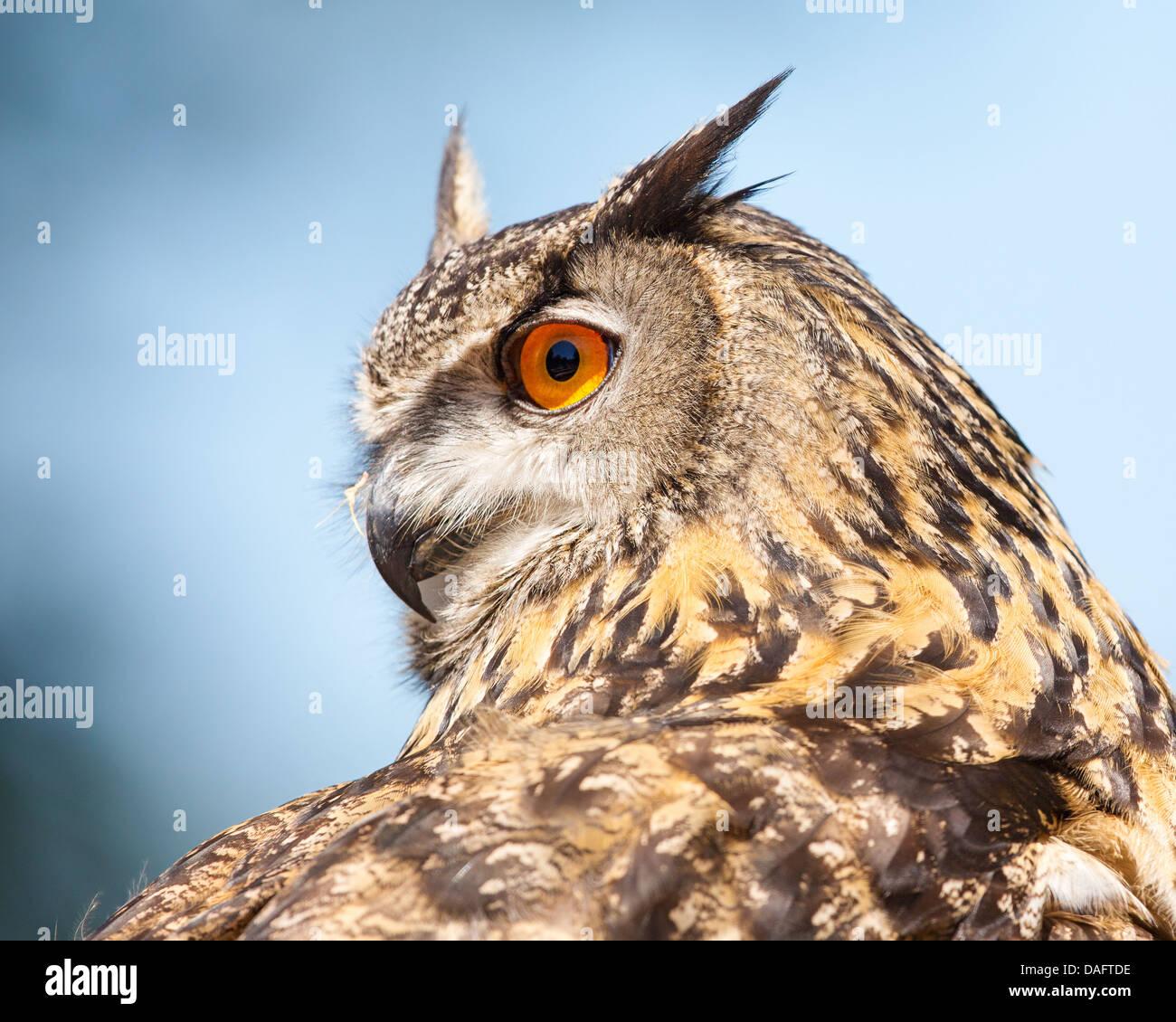 Nahaufnahme einer eurasische Adler - Eule (Bubo Bubo) mit Kopf drehte sich um 180 Grad vor einem blauen Himmel und Stockbild