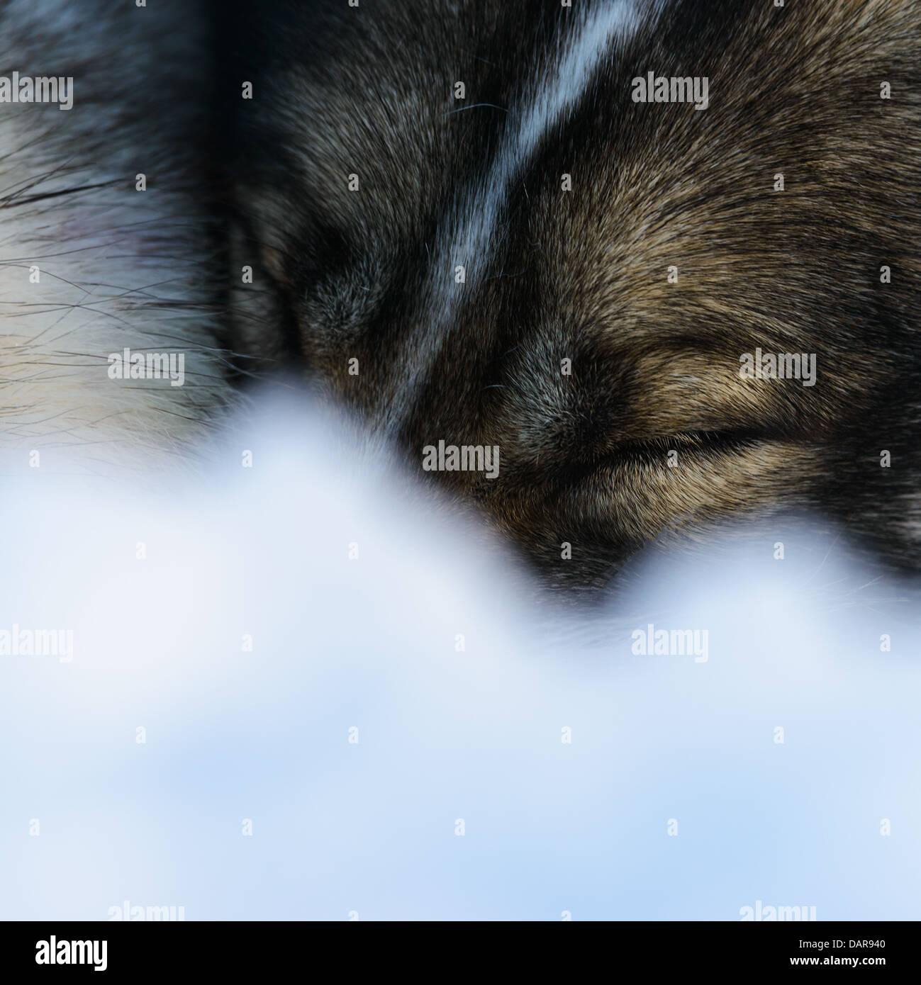 Siberian Husky schlafenden, Nahaufnahme Stockbild