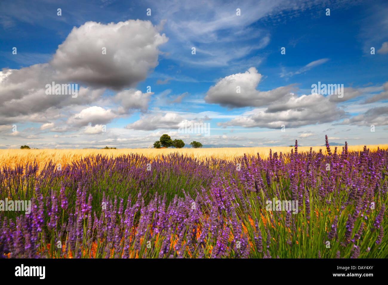Lavendel-Feld mit schönen Wolken, Provence Frankreich. Stockbild