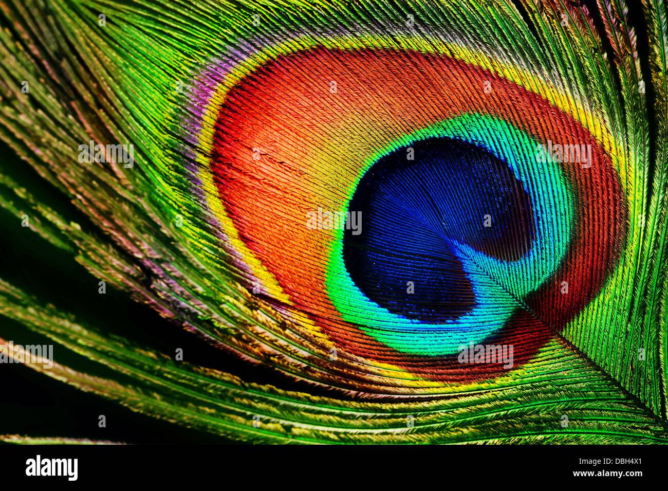 Pfauenfeder Stockbild
