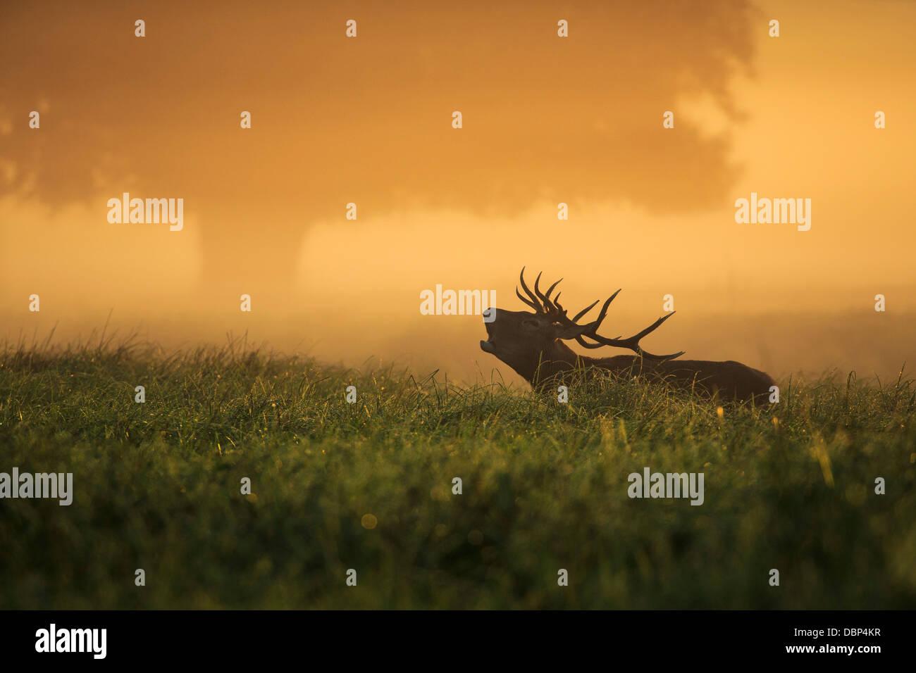 Hirsch im Feld in der Dämmerung Stockbild