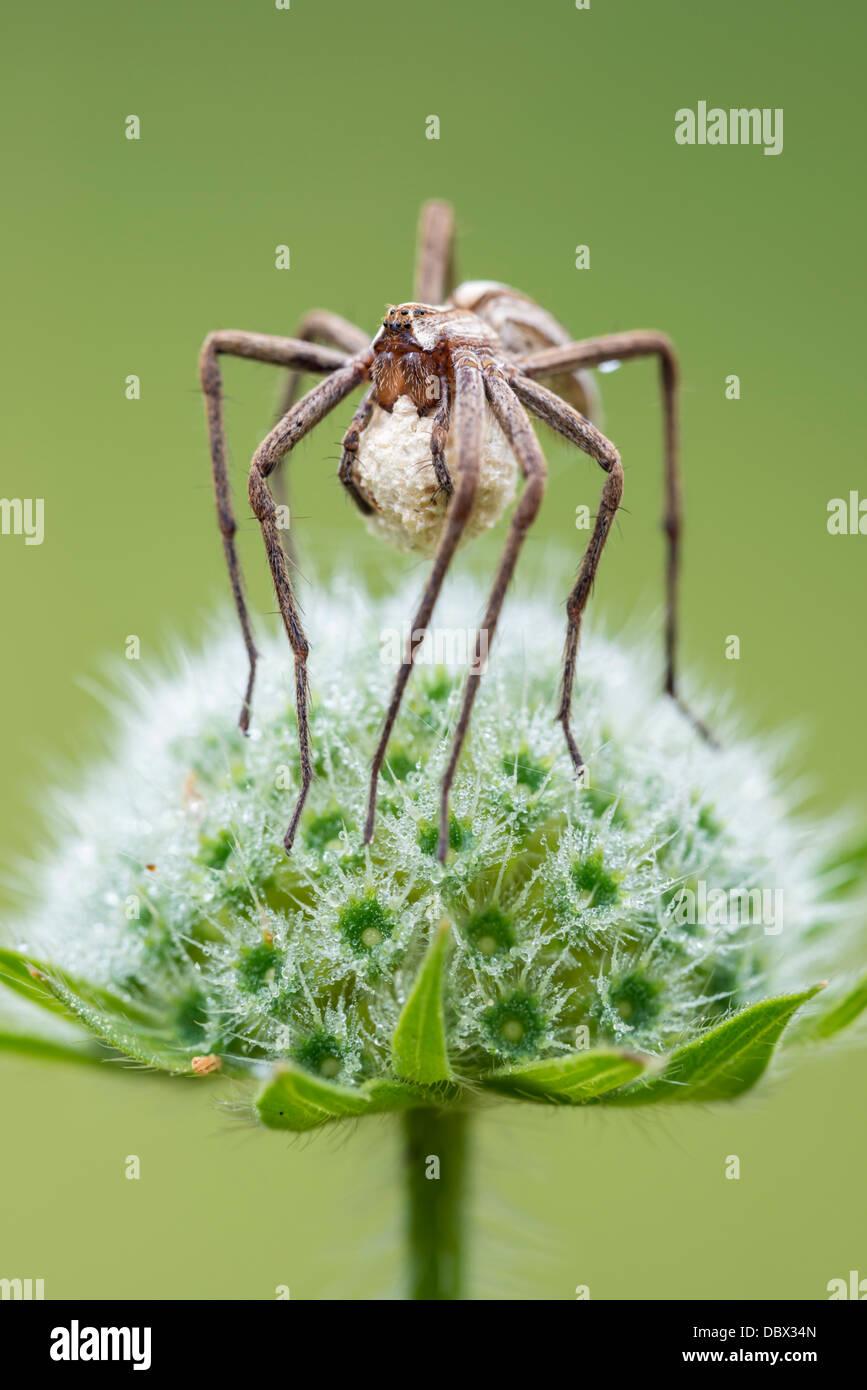 Weibliche Baumschule Web-Spider mit einem Ei sac Stockbild