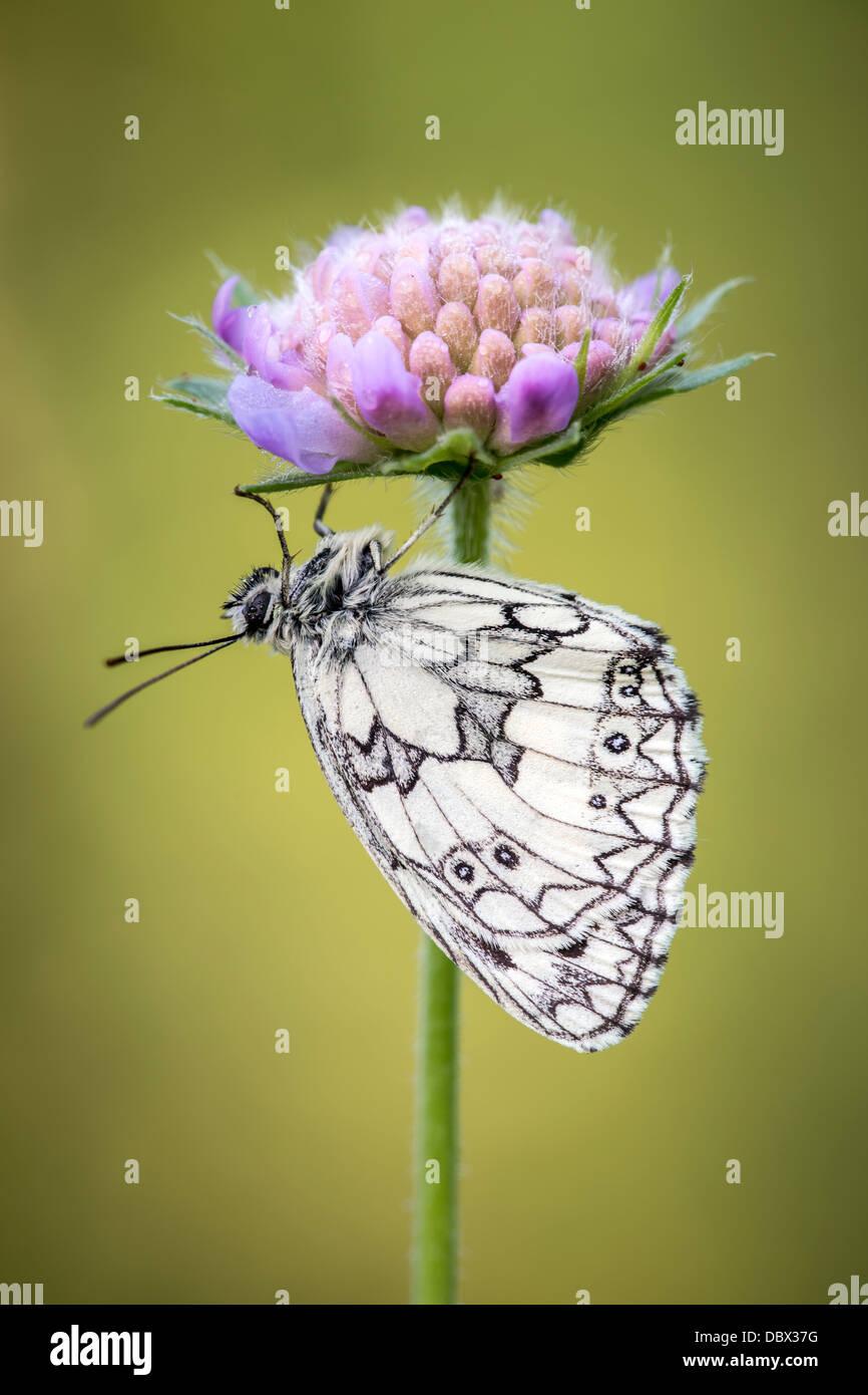 Marmoriert, weißer Schmetterling bergende unter Witwenblume Feldblume Stockbild