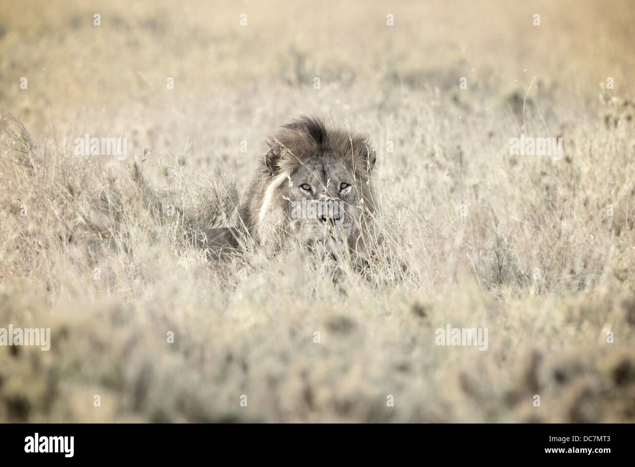Männlicher Löwe. Serengeti. Tansania Afrika. Stockbild