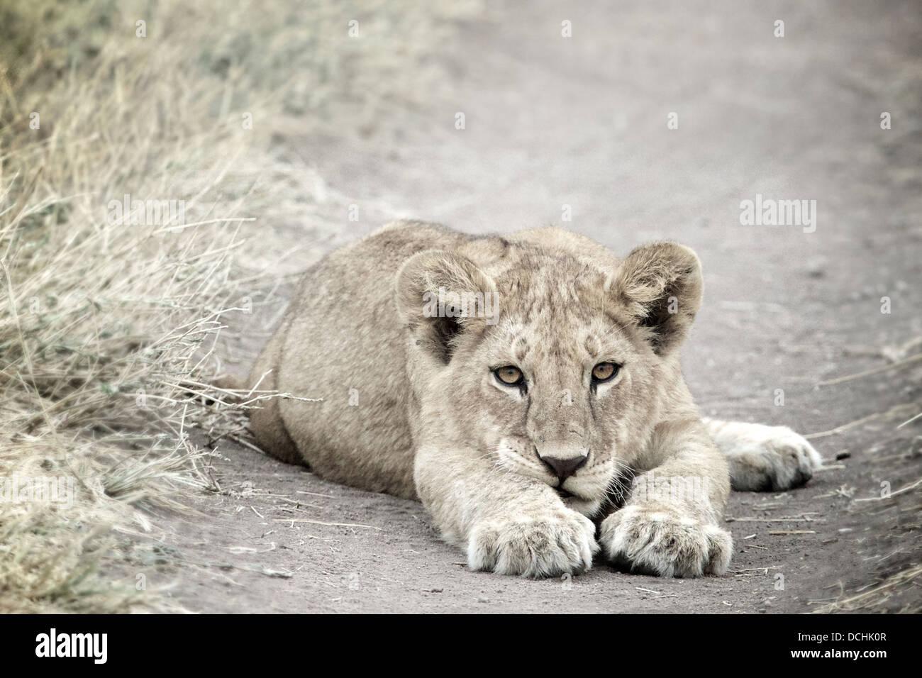 Junge Löwenjunges. Panthera Leo Serengeti Nationalpark. Tansania Stockbild