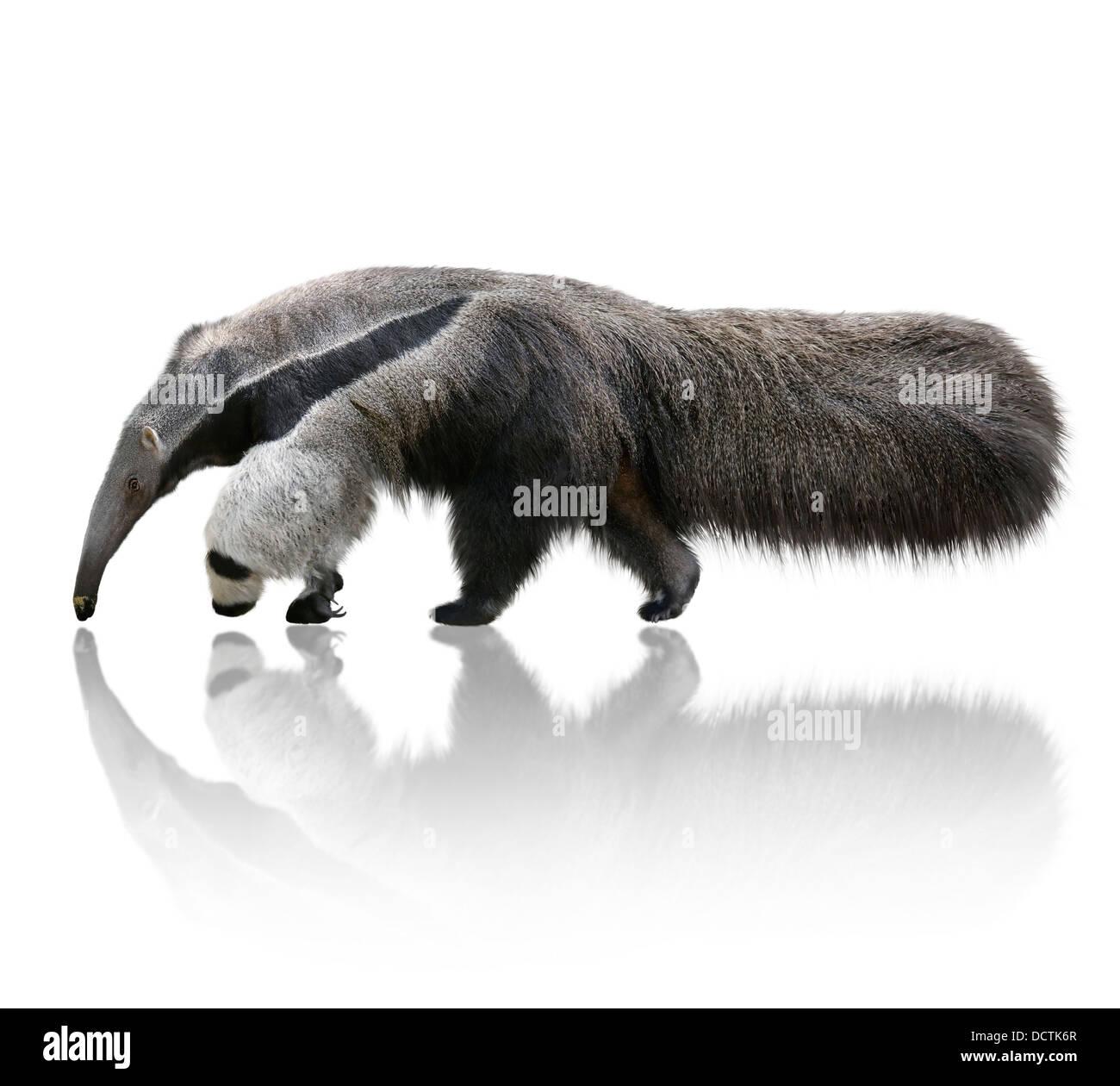 Großer Ameisenbär Stockbild
