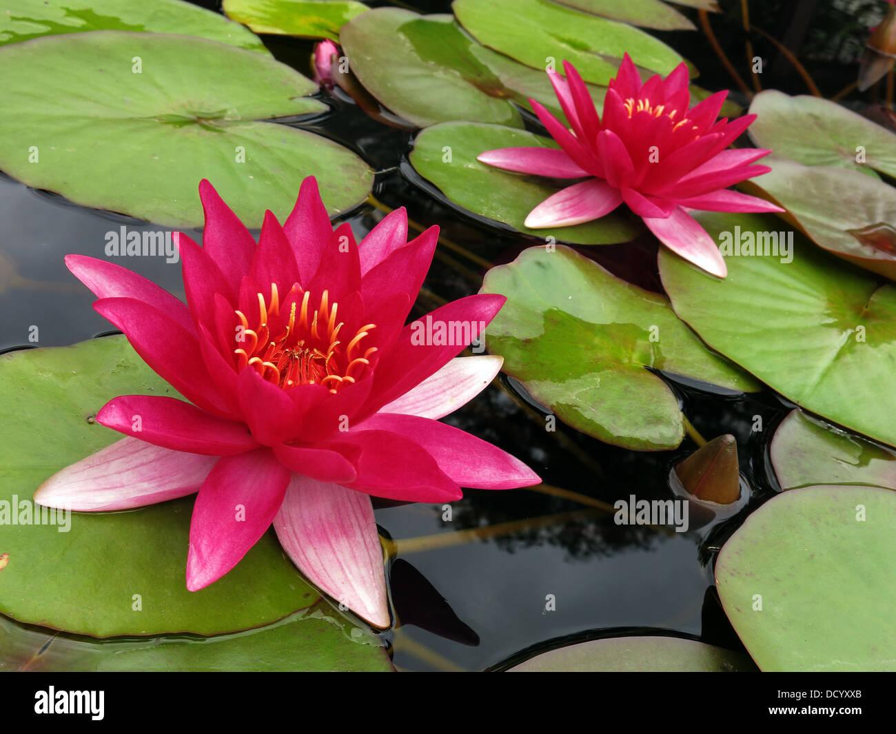 Laden Sie dieses Alamy Stockfoto Rosa waterlillie Blumen - Nymphaea in England, Vereinigtes Königreich - DCYXXB