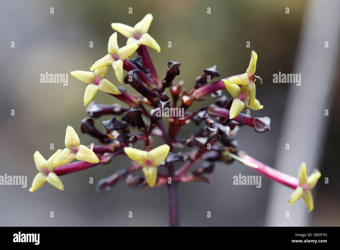 lava flower stockfotos lava flower bilder alamy. Black Bedroom Furniture Sets. Home Design Ideas