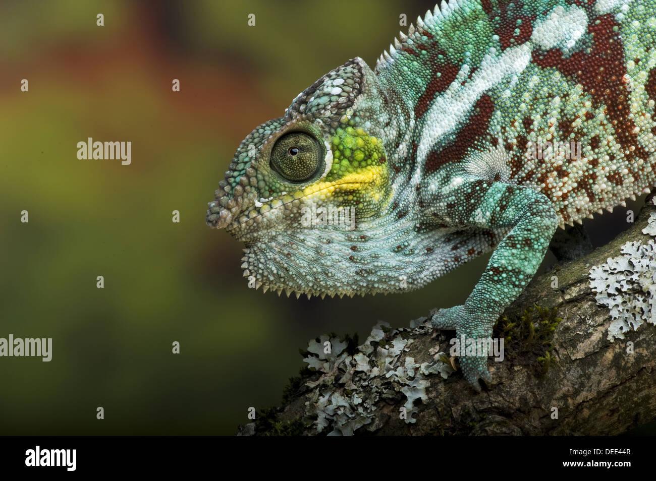 Pantherchamäleon (Furcifer pardalis) Stockbild